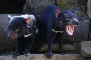 See Tasmanian Devils with Tours Tasmania
